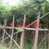 供应幌伞枫地苗有4至5公分,优质幌伞枫6至9公分地苗基地。