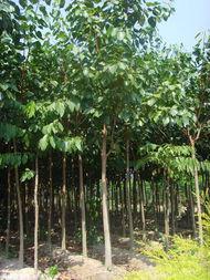 供应菩提树产地批发、菩提树产地批发价格、菩提树批发价格。