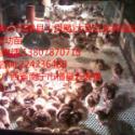 广西蓝孔雀苗广西白孔雀养殖图片