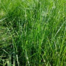 供应陕西混播草坪批发 草坪价格 黑麦草基地  混播草坪图片批发
