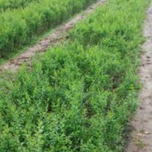 营养杯连翘种植批发基地