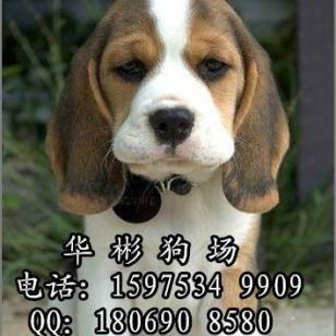 广州买比格犬图片