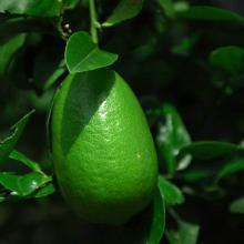 供应柠檬茶店用的香柠檬是香水柠檬吗?