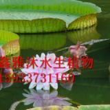 供应王莲种苗厂家