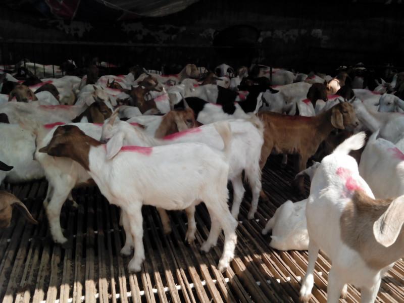 白山羊/供应白山羊//白山羊养殖//白山羊价格图片