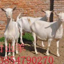 供应白山羊肉羊--白山羊肉羊养殖--白山羊肉羊价格批发
