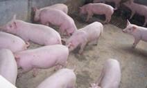 供应今日猪崽价格批发
