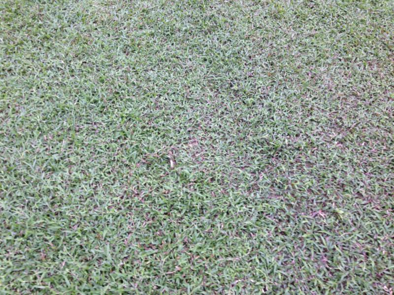 大叶油草图片 大叶油草样板图 大叶油草 广东草皮基地