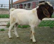 波尔山羊公羊行情图片