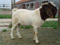 供应波尔山羊种羊