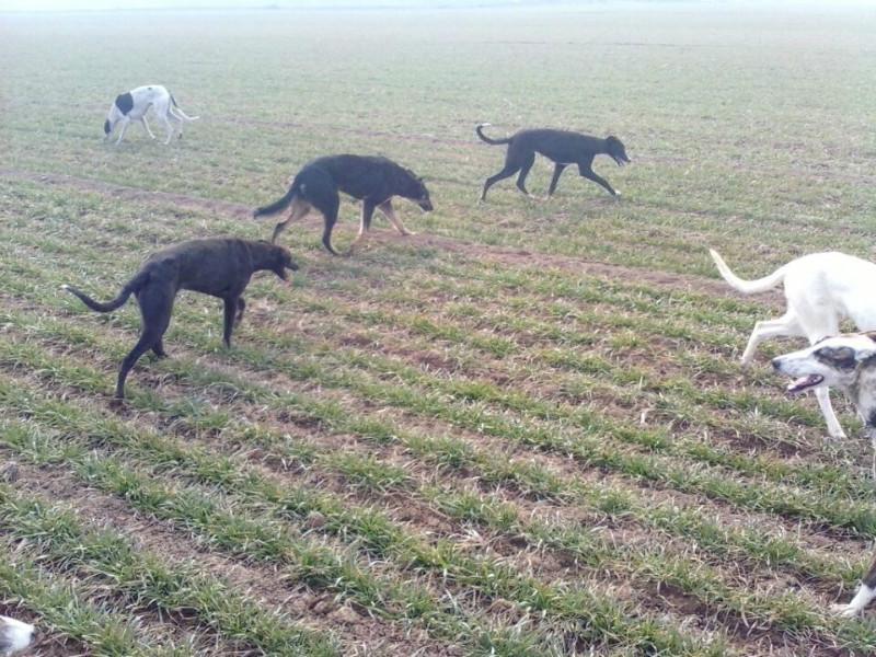 安徽 百度/供应安徽格力犬的价格图片