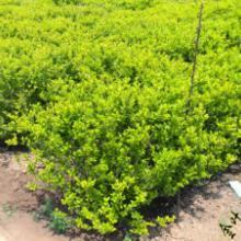 白山球类植物绿化苗木