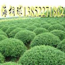 石家庄球类植物绿化苗木