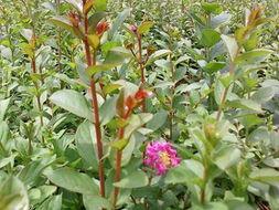 供应红花紫薇红花紫薇树价格图片