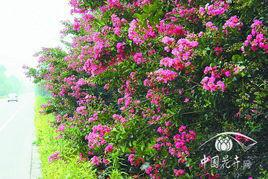 供应红花紫薇树批发图片