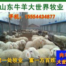 供应小尾寒羊小尾寒羊价格小尾寒羊养殖场 图片