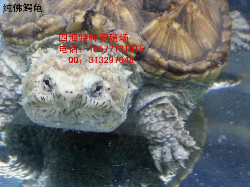 佛鳄龟价格_佛鳄龟杂佛鳄龟佛鳄龟价格纯佛鳄龟佛鳄龟吃