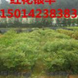供应平价出售红花银桦广州明兴苗圃场批发红花银桦平价出售红花银桦