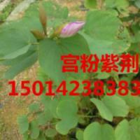 供应广东广州40公分高宫粉紫荆苗木,宫粉紫荆小苗低价出售,公分紫荆