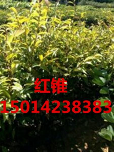供应楠木,南方楠木报价,30公分高楠木袋苗,50公分高楠木种苗批发