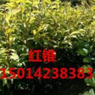 广东30公分红锥小苗图片