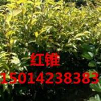供应阴香,70公分高阴香苗,阴香种苗批发报价,40公分高阴香供货商