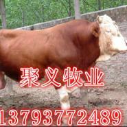 夏洛莱牛5-8的月的纯种牛犊图片