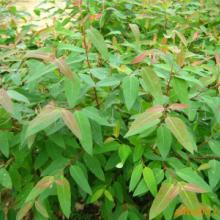 供应用于山林园艺的桉树苗价格!桉树树苗价钱!桉树苗批发基地!需要请电话联系图片