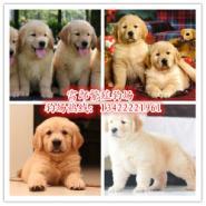 纯种金毛犬图片