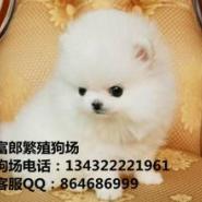 广州哪里有卖博美图片