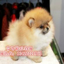 广州哪里有博美专卖店纯种球型博美一只卖多少钱广州富郎狗场图片