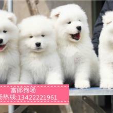 广州哪里有出售雪橇犬 广州哪里有狗场 萨摩耶幼犬市场价格多少图片