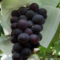 熊岳巨峰葡萄批发 双赢水果为您代购熊岳巨峰葡萄