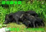 供应北京藏香猪养殖