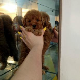 纯种健康茶杯犬长不大的狗泰迪熊图片
