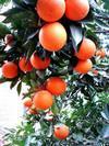 供应江西甜橙苗 信丰脐橙苗 纽荷尔脐橙苗 红肉脐橙苗 血橙苗