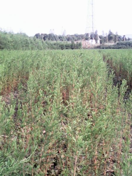 供应水杉苗木优质种苗批发图片