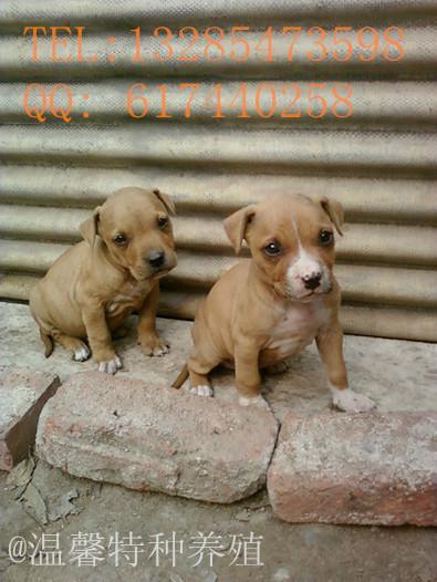 供应比特犬价格/比特犬小犬多少钱图片