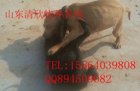 供应江苏比特犬养殖图片