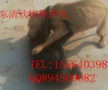 供应江苏比特犬价格,江苏比特犬打架图片,江苏比特犬供货商图片