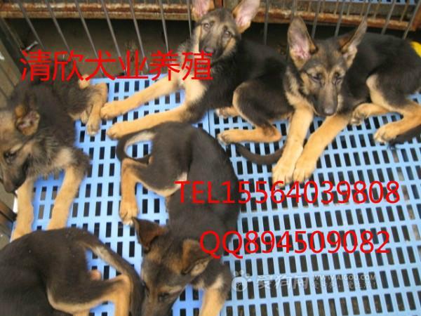 供应肉狗价格图片
