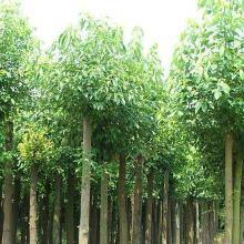赣州香樟种子批发_抚州樟树种子批发_吉安樟树子批发