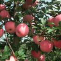 山西优质苹果苗木报价图片
