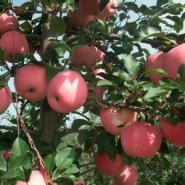 占地2公分至10公分苹果树山楂树图片