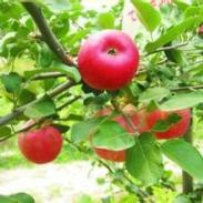 绿化工程苗木苹果树图片