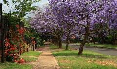 供应紫薇供应