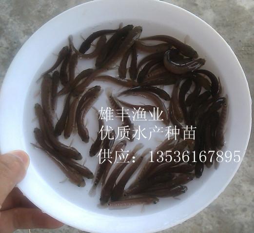 供应萍乡七星鱼苗价格-七星鱼苗繁殖基地批发