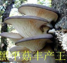 供应黑平菇丰产王纯一代颗粒母种一级菌种 试管母种 原种、栽培种