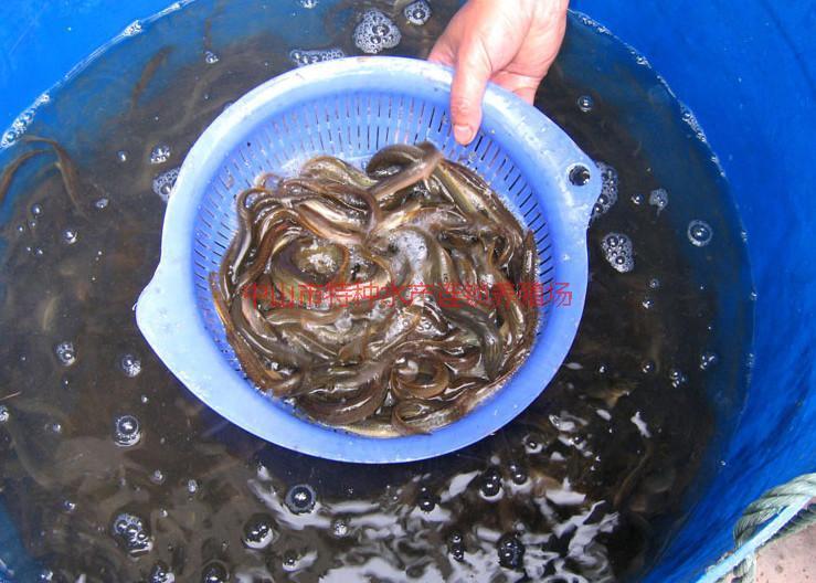 供应台湾泥鳅报价/台湾泥鳅供应商/台湾泥鳅批发市场