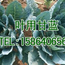 供应盛-奇绿雅叶用甘蓝萝卜硫素是蔬菜中抗癌效果最好的植物活性物质